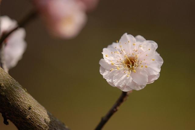 神崎梅園の梅7