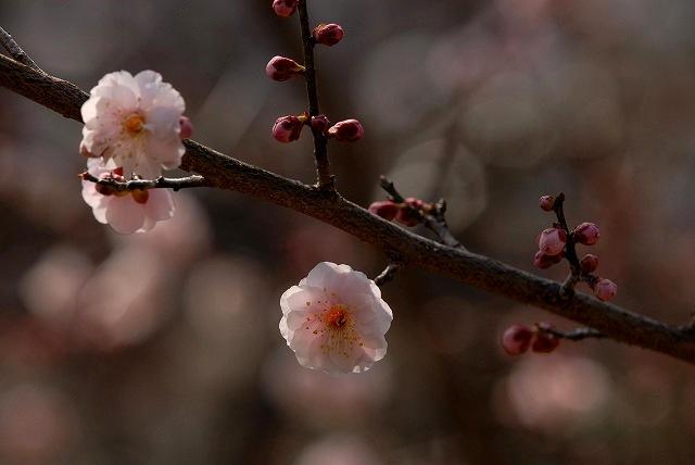 神崎梅園の梅9