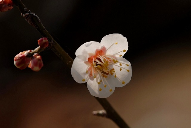 神崎梅園の梅11