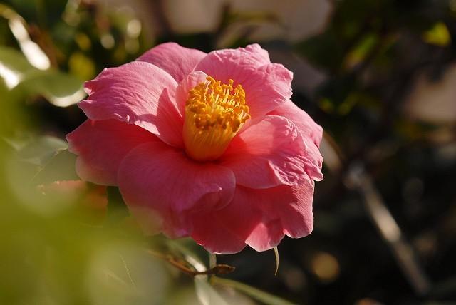 ピンクの椿1