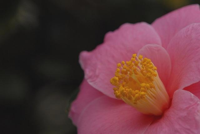 ピンクの椿1-4