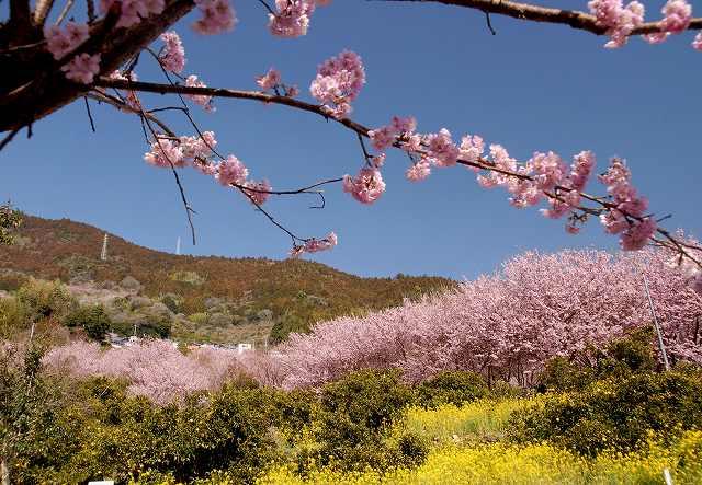 桑田山の雪割桜6