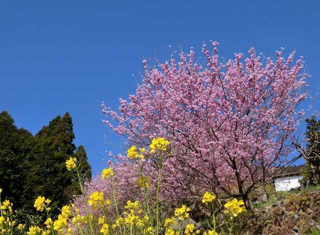 桑田山の雪割桜3
