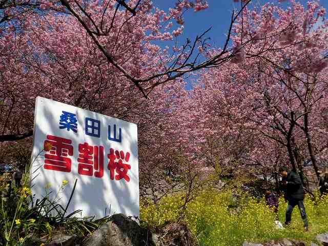 桑田山の雪割桜4