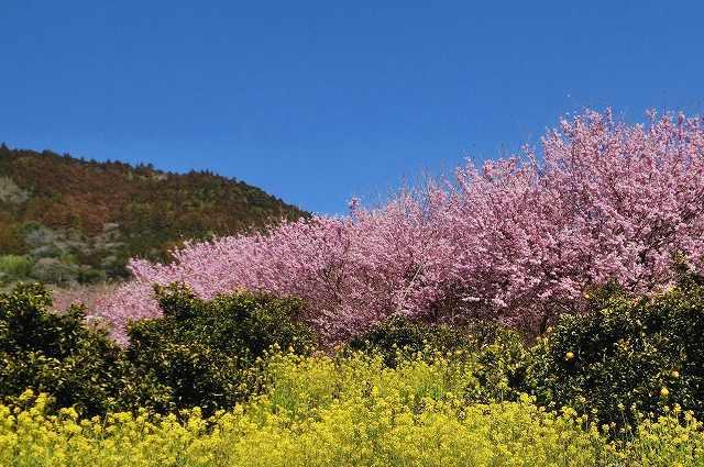 桑田山の雪割桜2