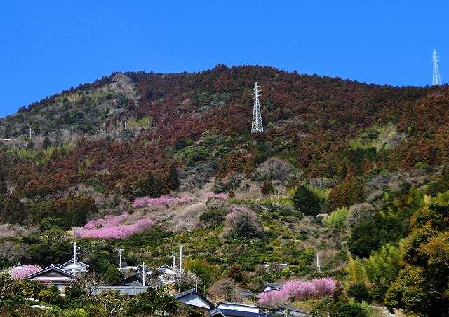 桑田山の雪割桜1