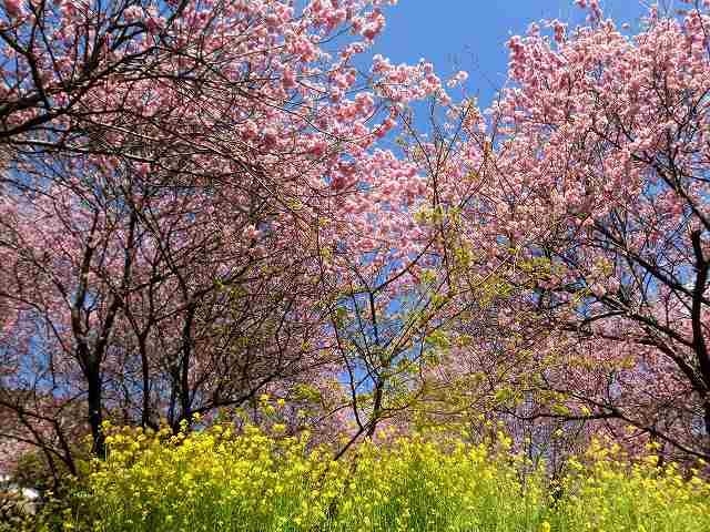 桑田山の雪割桜7