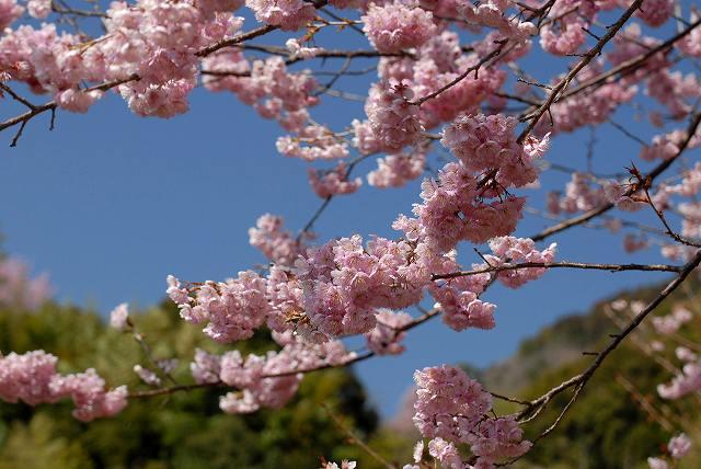 桑田山の雪割桜8