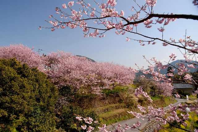 桑田山の雪割桜10