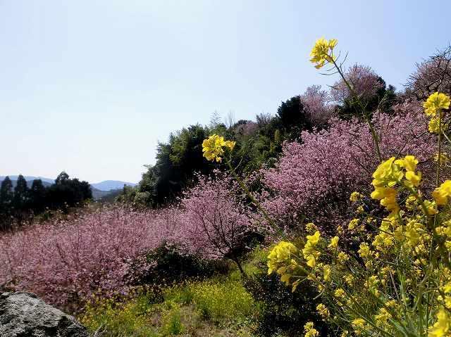 桑田山の雪割桜12