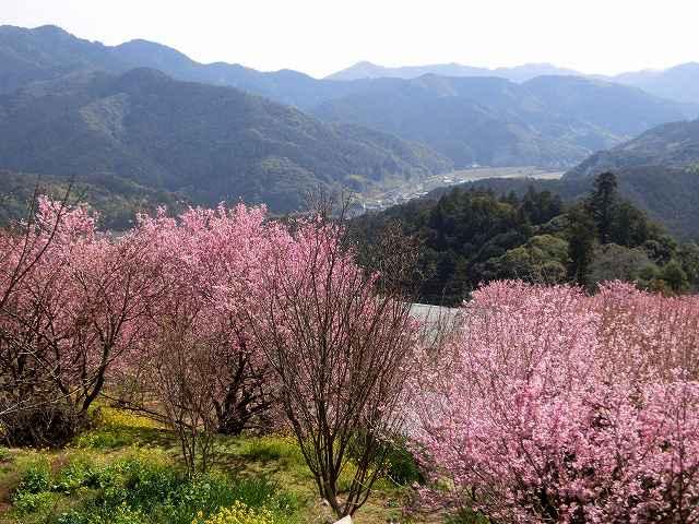 桑田山の雪割桜13
