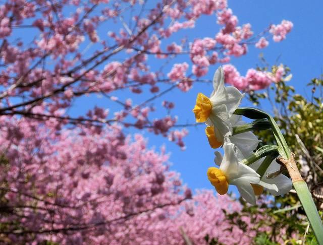 桑田山の雪割桜14