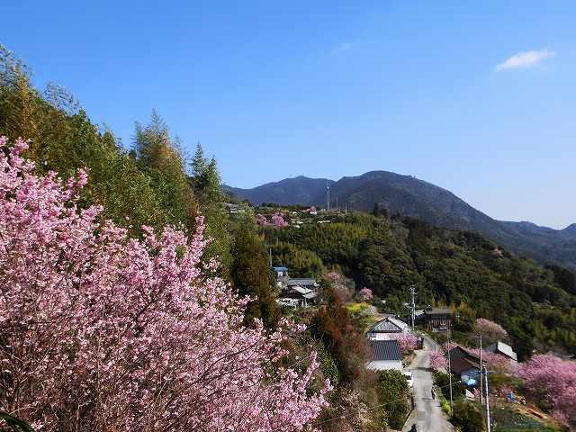 桑田山の雪割桜15