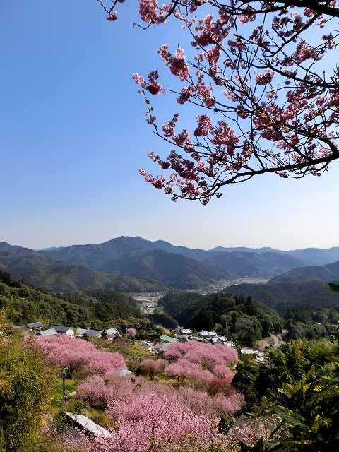 桑田山の雪割桜16