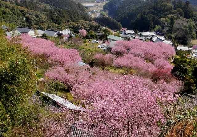 桑田山の雪割桜17