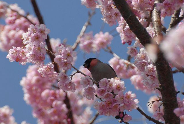 桑田山の雪割桜18