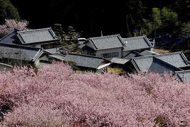 桑田山の雪割桜19