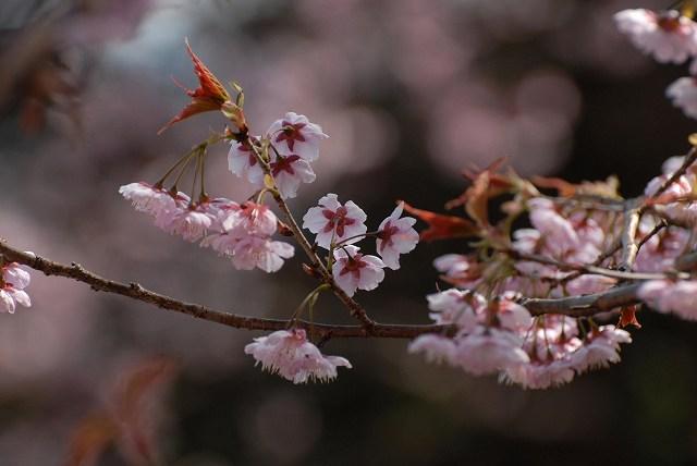 桑田山の雪割桜22