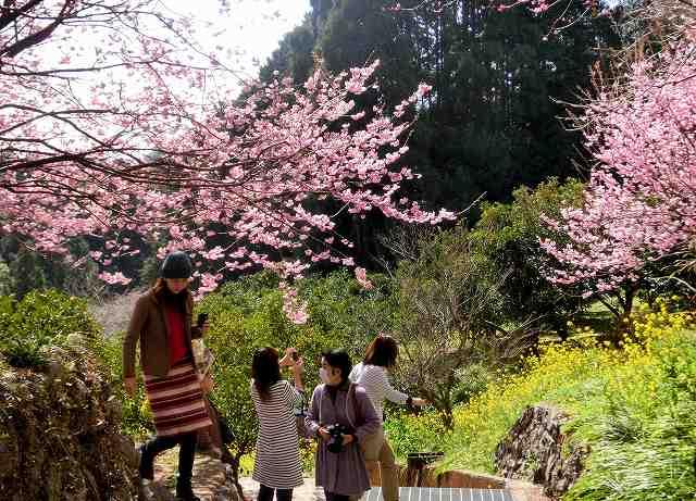 桑田山の雪割桜23