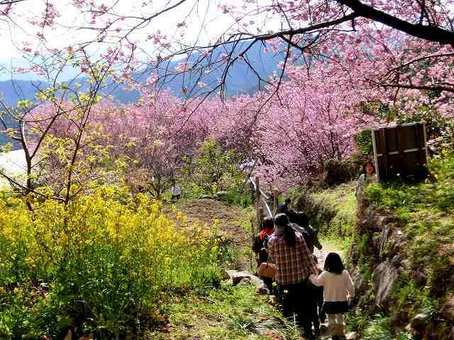 桑田山の雪割桜24
