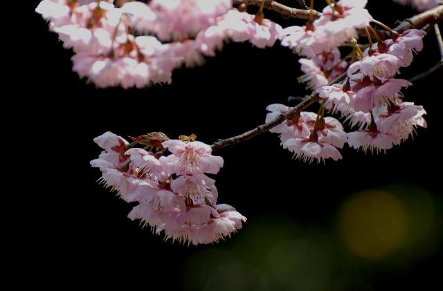 桑田山の雪割桜26