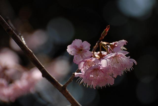 桑田山の雪割桜27