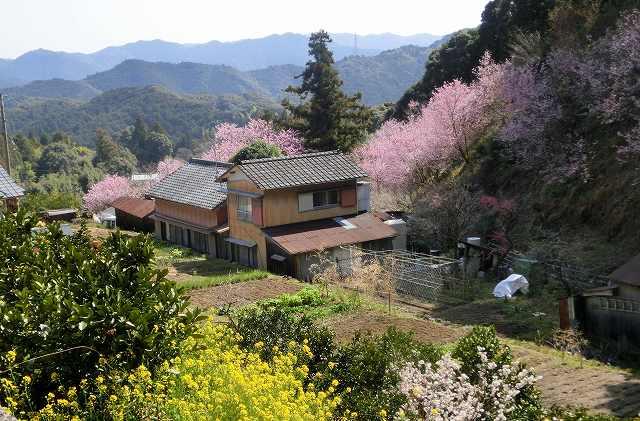 桑田山の雪割桜28