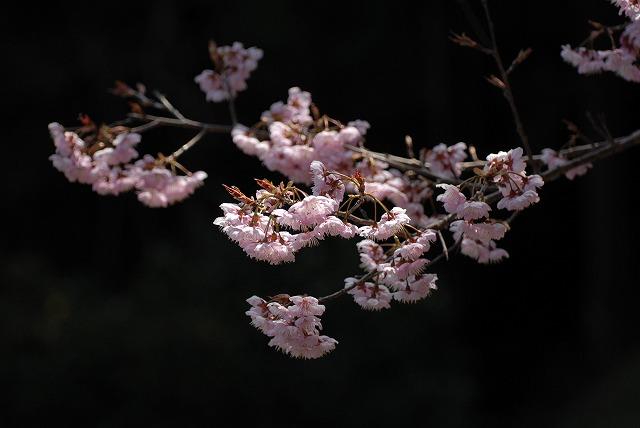 桑田山の雪割桜29