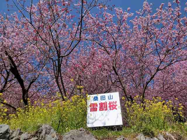 桑田山の雪割桜30