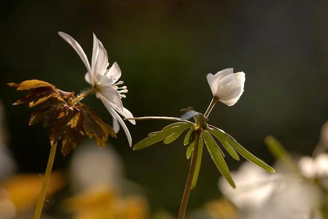 アズマイチゲと節分草2