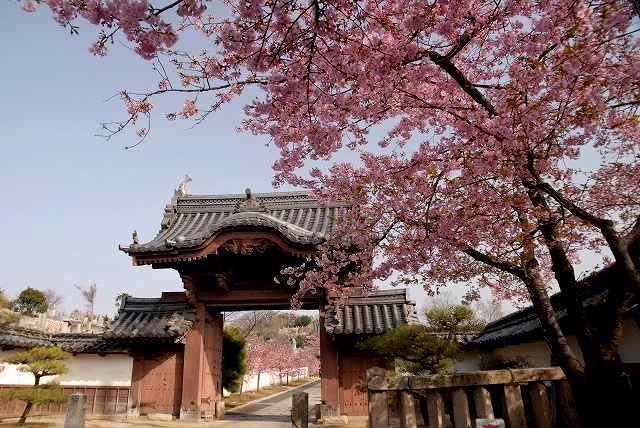 妙林寺の河津桜1
