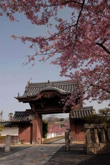 妙林寺の河津桜1-2