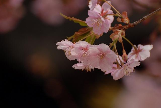 妙林寺の河津桜12