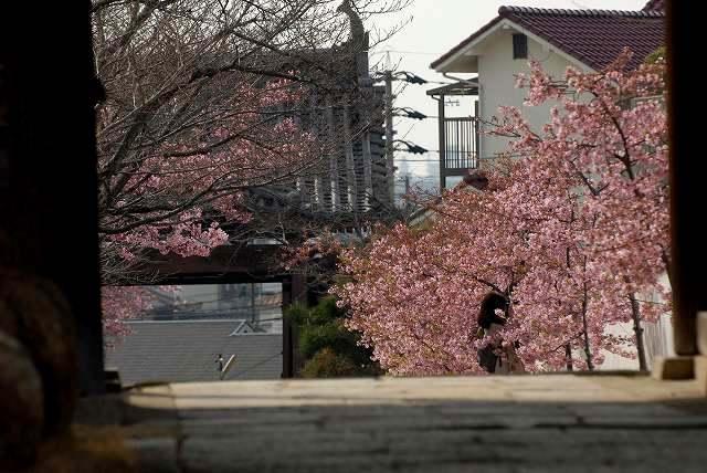 妙林寺の河津桜13