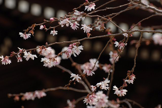 ふしぎ桜3