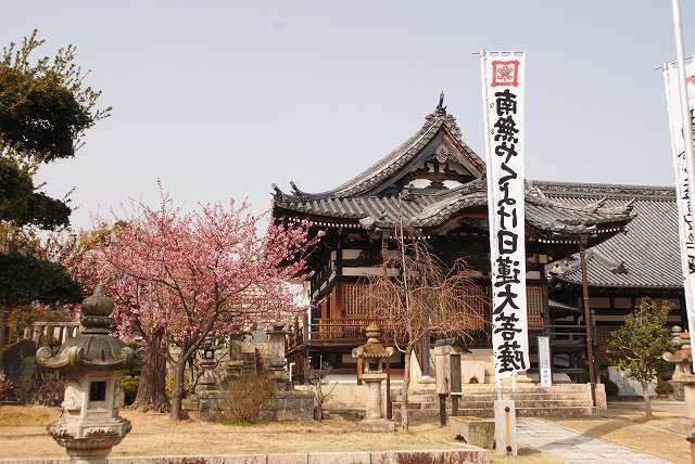妙林寺の河津桜17
