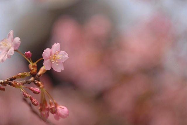 妙林寺の河津桜19
