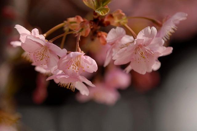 妙林寺の河津桜21