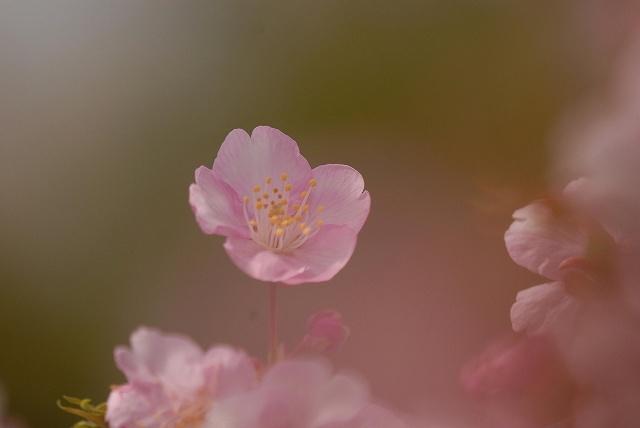 妙林寺の河津桜24