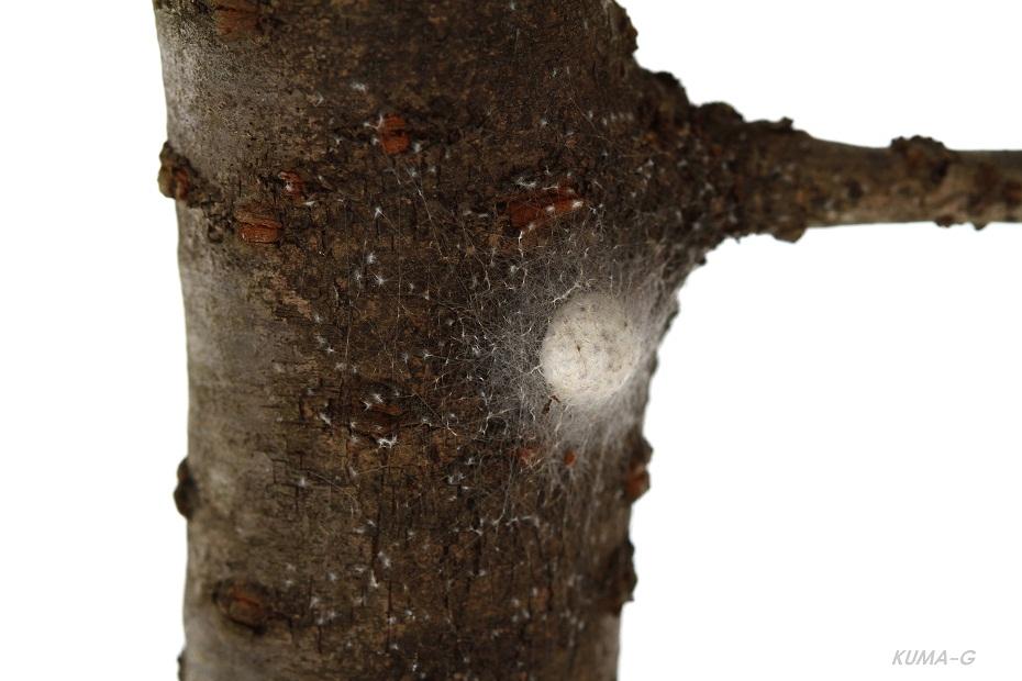 ジョロウグモ卵