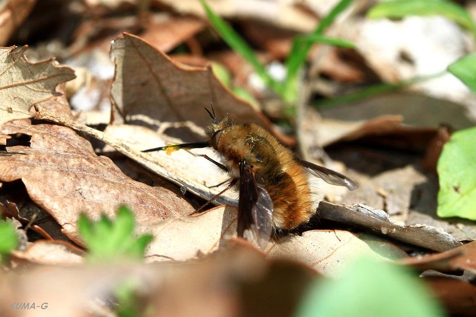ビロードツリアブ 花粉