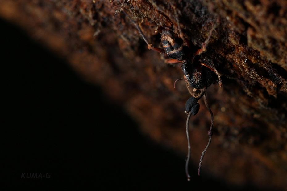 Cordyceps sp.