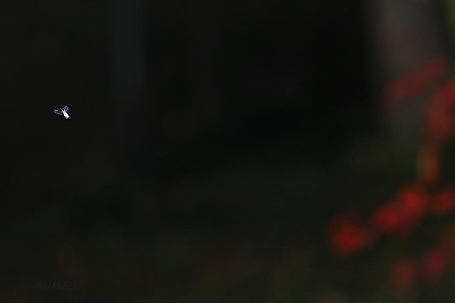 Paracolopha morrisoni