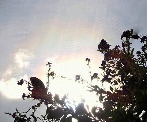 タイワンレンギョウと虹色の雲