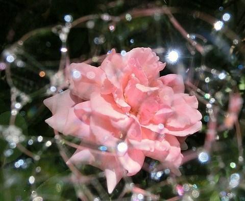薔薇(羽衣)