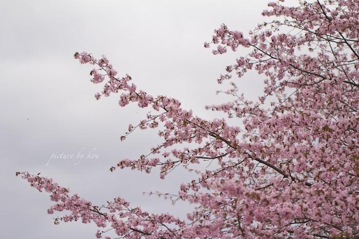 201205sakura.jpg