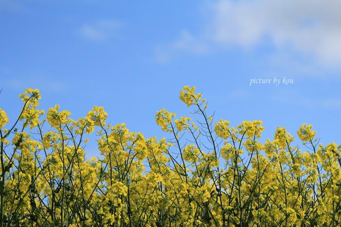 201206nanohana9.jpg