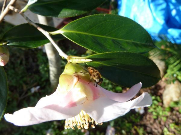椿ミツバチ6