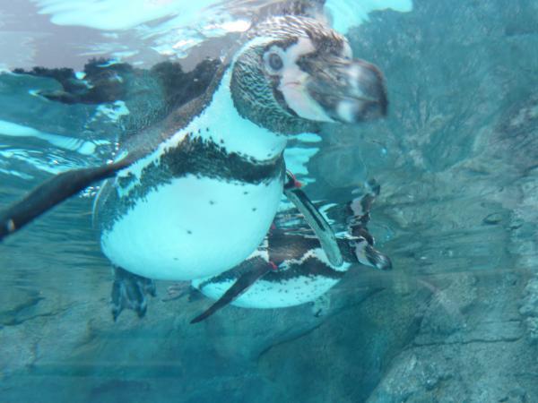 ペンギン水中2匹4