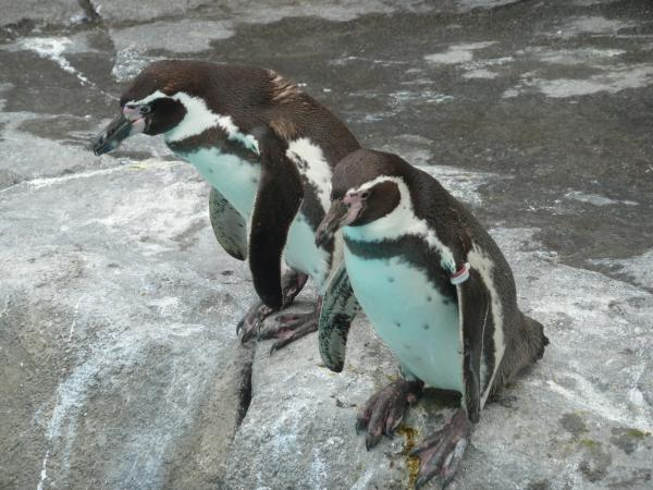 ペンギン岩2匹1